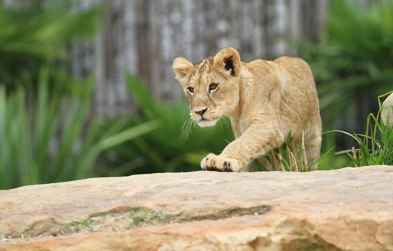 Фото обои поза, фон, лев, милый, бревно, мордашка, дикая кошка, львенок, зоопарк, львёнок
