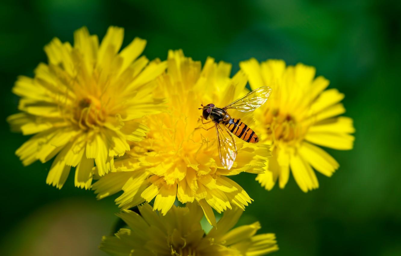 Обои журчалка, цветок, насекомое, боке. Макро foto 10