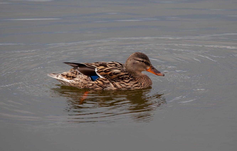 Фото обои вода, утка, кряква