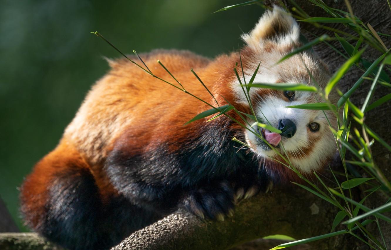 Фото обои листья, природа, дерево, животное, красная панда, малая панда
