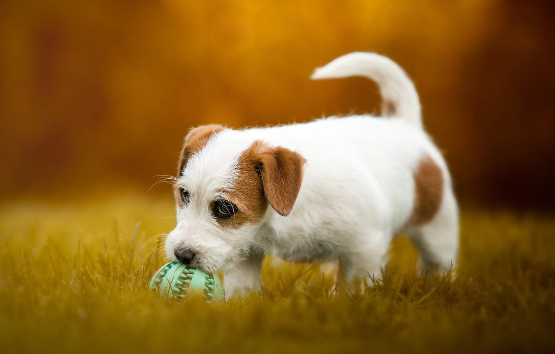 Фото обои осень, трава, взгляд, морда, оранжевый, природа, поза, фон, поляна, игра, мяч, собака, малыш, щенок, прогулка, …