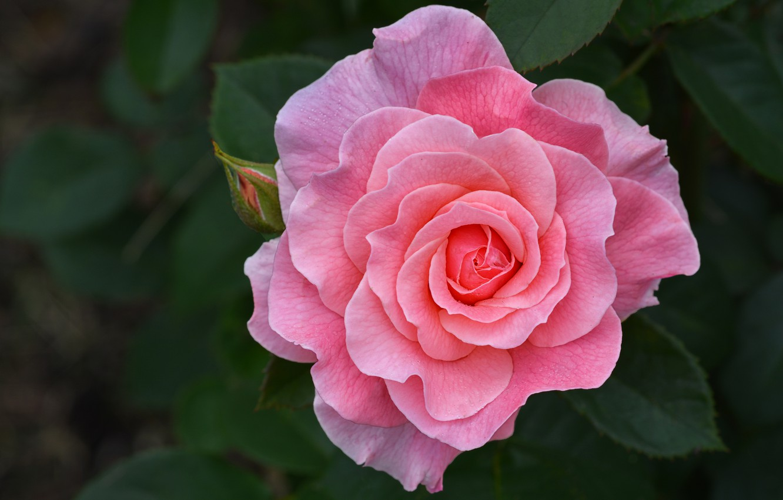 Фото обои цветок, листья, природа, розовая, роза, бутон
