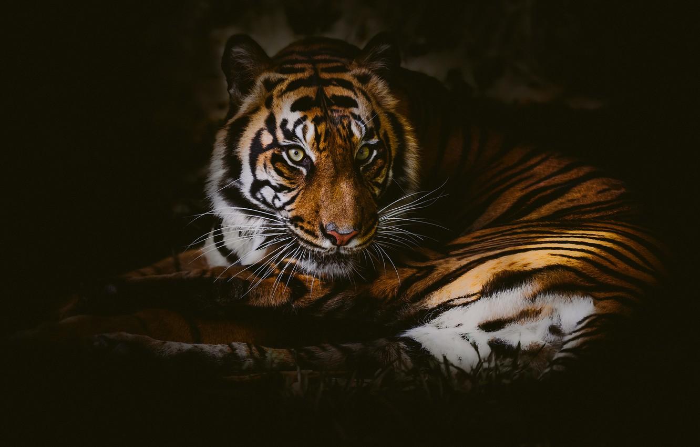 Фото обои взгляд, тигр, дикая кошка, тёмный фон