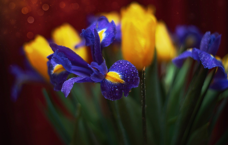 Фото обои вода, капли, макро, цветы, лепестки, тюльпаны, ирисы, боке