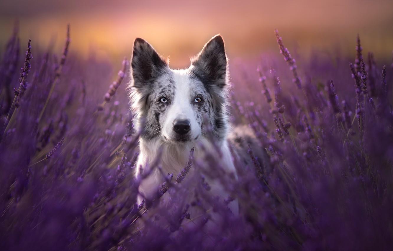 Фото обои взгляд, морда, собака, лаванда, Бордер-колли