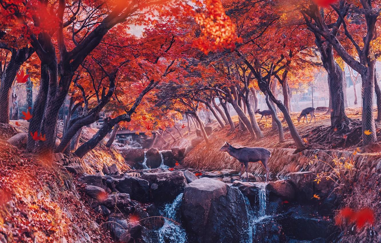 Обои красота, Олени, осень. Животные foto 9