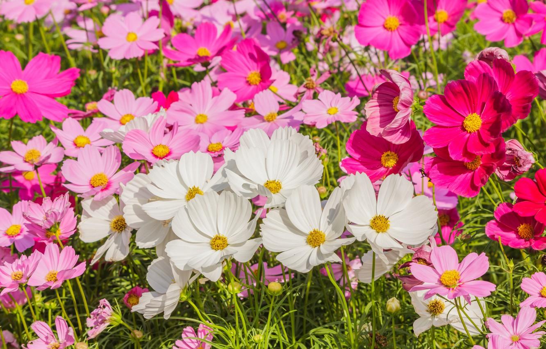 Фото обои поле, лето, цветы, colorful, луг, summer, розовые, white, белые, field, pink, flowers, cosmos, meadow
