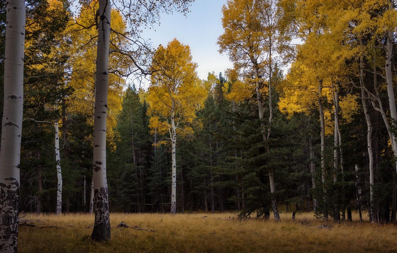 Обои тропа, осень, березы. Пейзажи foto 7