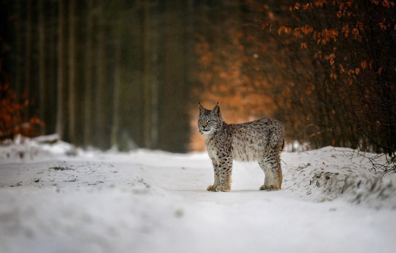 Фото обои зима, лес, снег, природа, животное, хищник, рысь