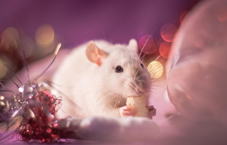Фото обои взгляд, свет, украшения, фон, розовый, праздник, глазки, лапки, размытие, мышь, мышка, мордочка, Новый год, белая, …