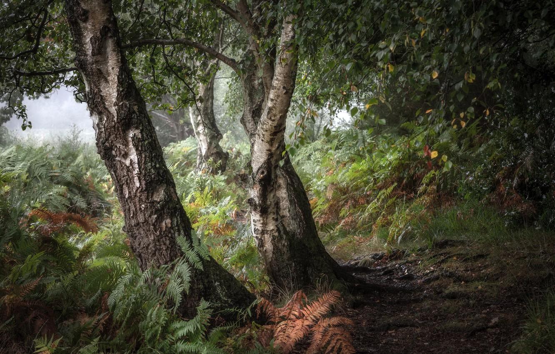 Фото обои лес, природа, берёзы