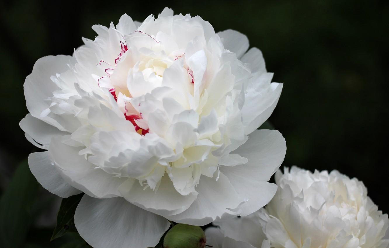 Фото обои цветы, пион, белый пион
