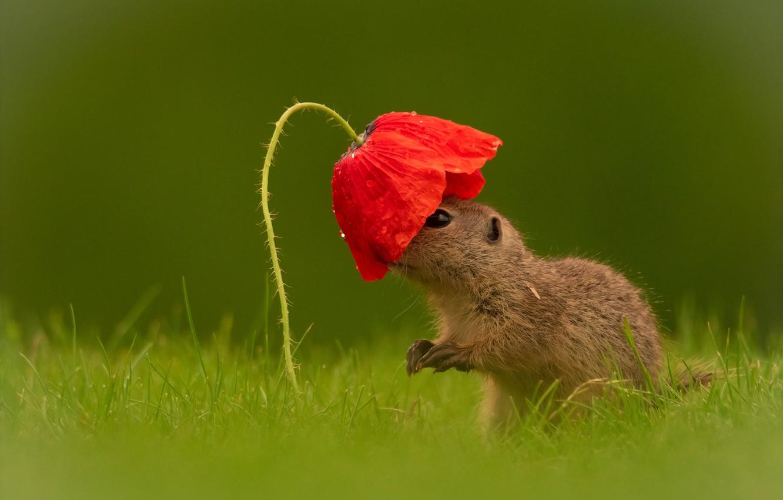 Фото обои цветок, трава, взгляд, капли, красный, мак, детеныш, суслик, зеленый фон