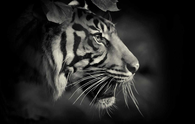 Обои Кошка, tigr, зверь. Кошки foto 11