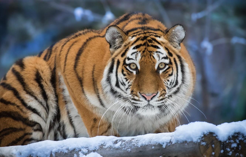 Фото обои зима, взгляд, морда, снег, природа, тигр, портрет, бревно, боке