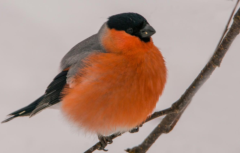 Фото обои зима, макро, птица, снегирь