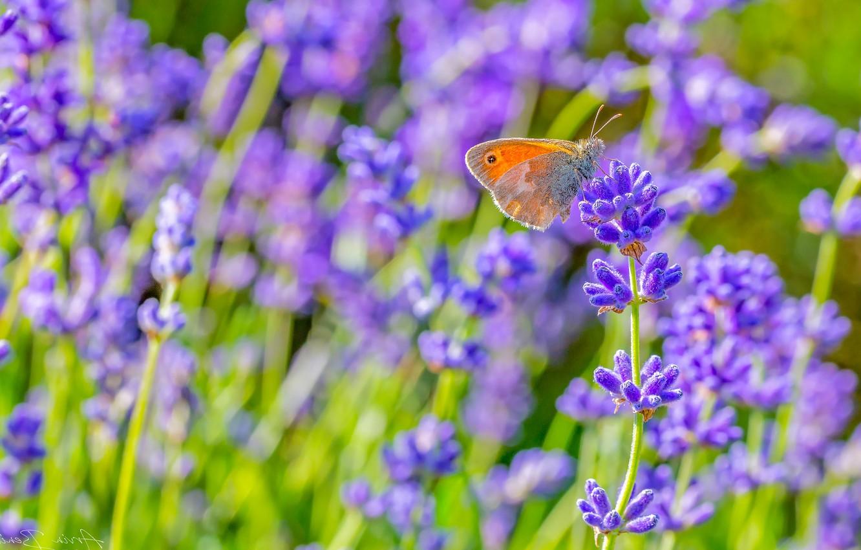Фото обои зелень, лето, трава, макро, цветы, бабочка, луг, рыжая, лаванда