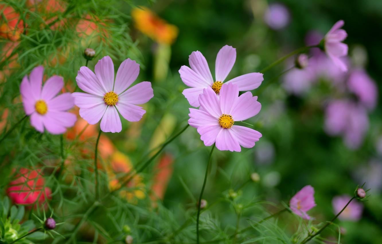 Фото обои лето, цветы, космея