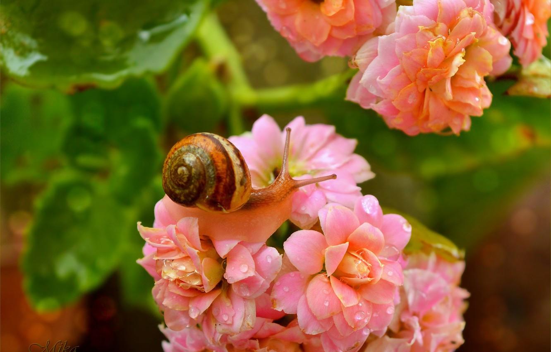 Фото обои Макро, Цветы, Капли, Улитка, Flowers, Macro, Drops, Snail