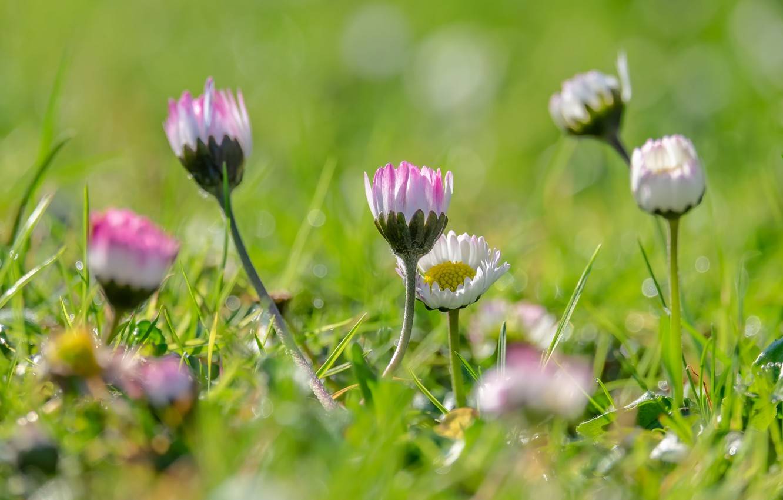 Обои цветы, grass. Цветы foto 9