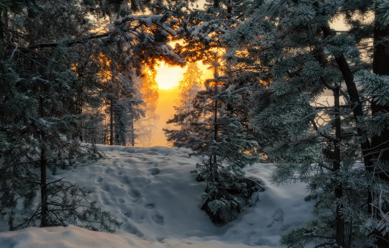 Фото обои лес, утро, мороз, сосны