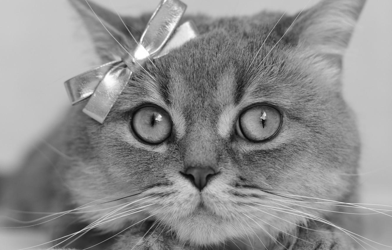 Фото обои кошка, взгляд, портрет, мордочка, чёрно-белая, бантик, монохром, котейка