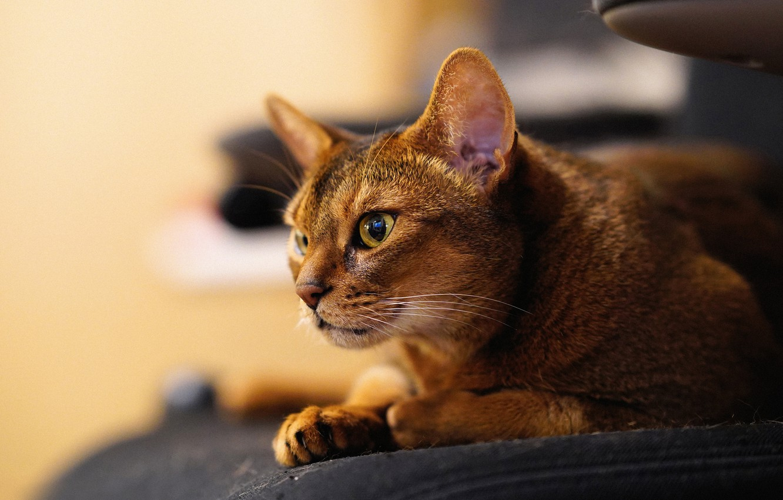 Фото обои кошка, взгляд, мордочка, Абиссинская кошка