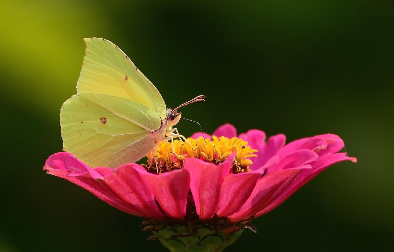 Фото обои цветок, бабочка, боке, макро flowers природа, лимонница