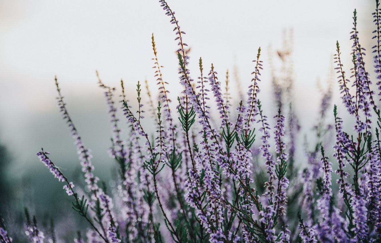 Фото обои природа, сиреневый, растение, Цветы, размытость, полевые