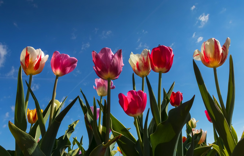 Фото обои небо, цветы, тюльпаны