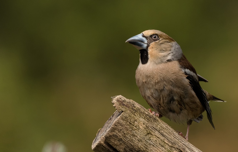 Фото обои птица, столбик, дубонос