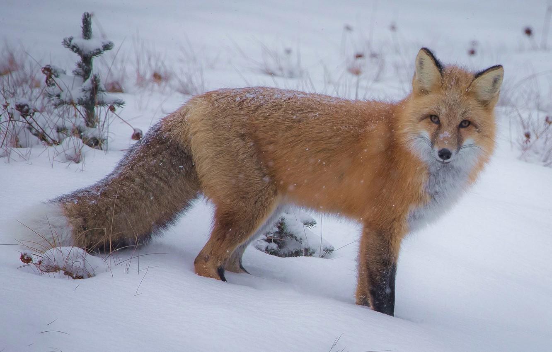Фото обои зима, взгляд, снег, лиса, хвост, рыжая