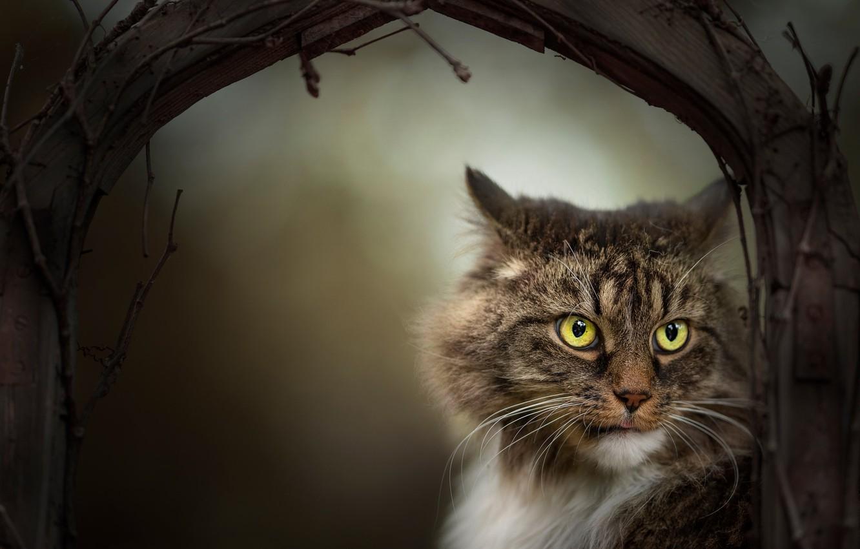 Фото обои кот, взгляд, ветки, мордочка, котэ