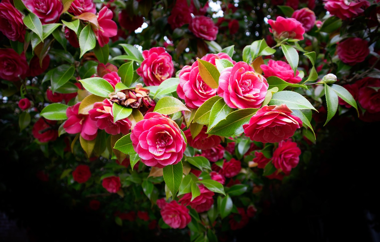 Фото обои цветы, темный фон, дерево, красота, розовые, цветение, много, боке, камелии