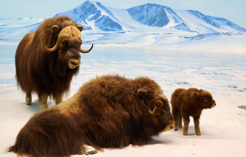 Фото обои ice, nature, mountain, cold, bison, bison cub