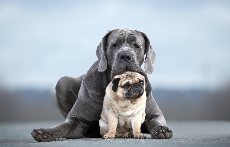 Фото обои собаки, портрет, пара, друзья, две собаки, Мопс, Кане-корсо