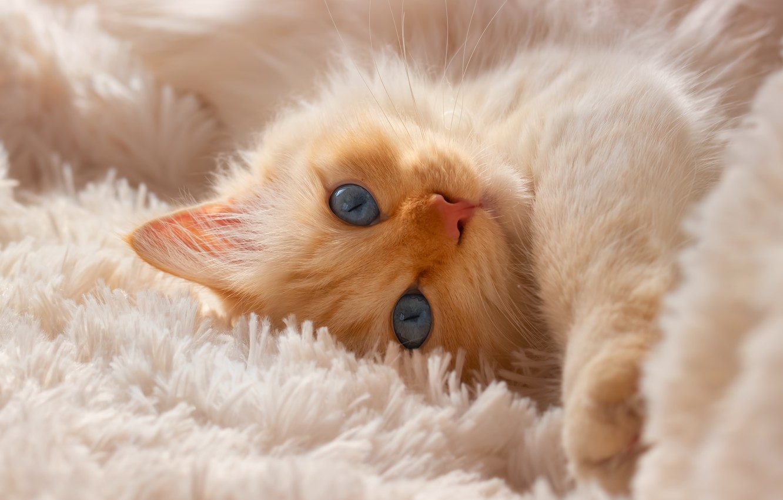 Обои котёнок, голубые глазки, мордочка. Кошки foto 13