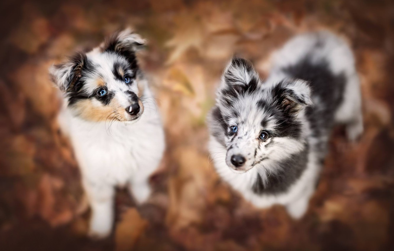 Фото обои собаки, взгляд, щенки, боке, мордашки
