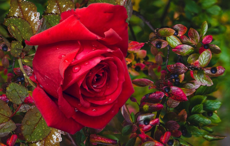 Фото обои осень, ягоды, роза, настроение подарок