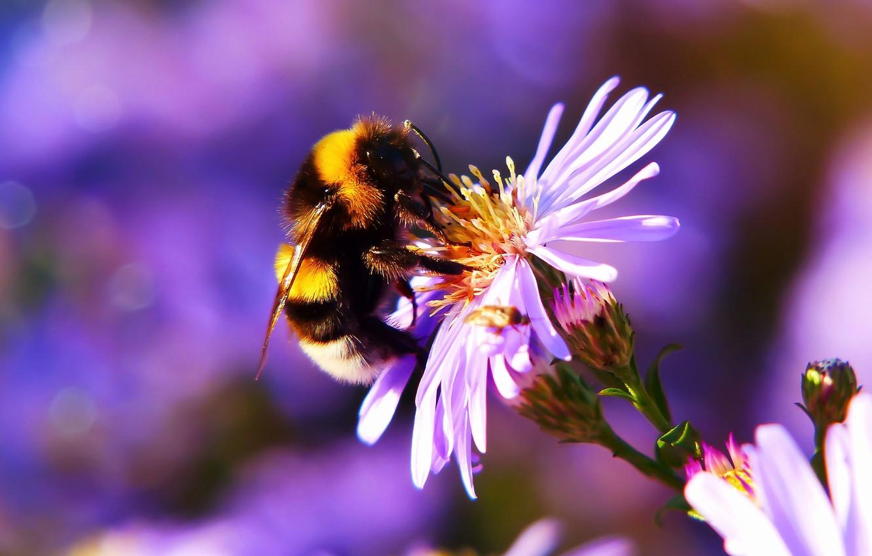 Обои насекомое, цветок, пчела. Макро foto 6