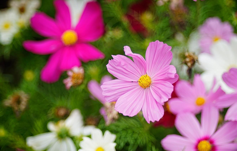 Фото обои космос, цветы, сад, розовые, белые, зеленый фон, сиреневые, боке, космея, космеи
