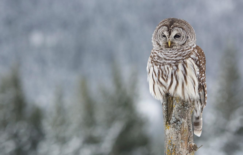 Фото обои зима, фон, сова, птица, размытый фон, столбик, неясыть, пестрая