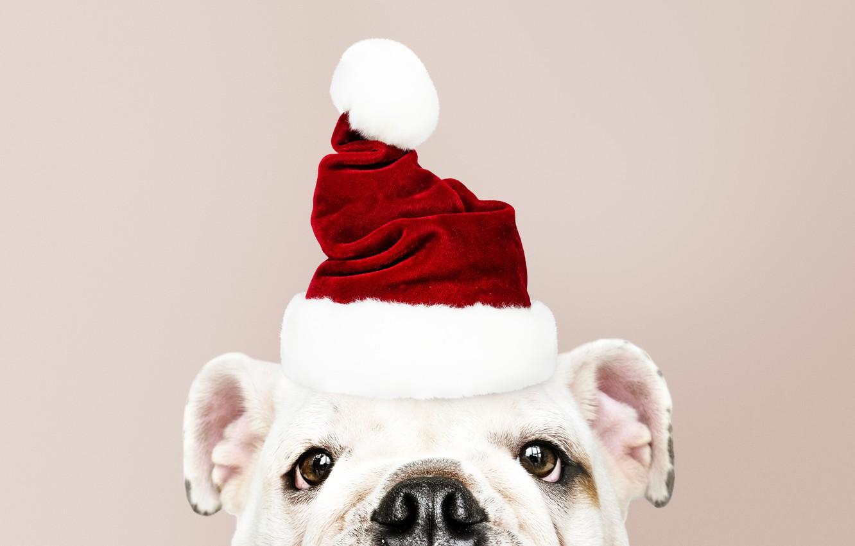 Фото обои собака, Новый Год, Рождество, щенок, санта, Christmas, puppy, dog, New Year, cute, Merry, santa hat