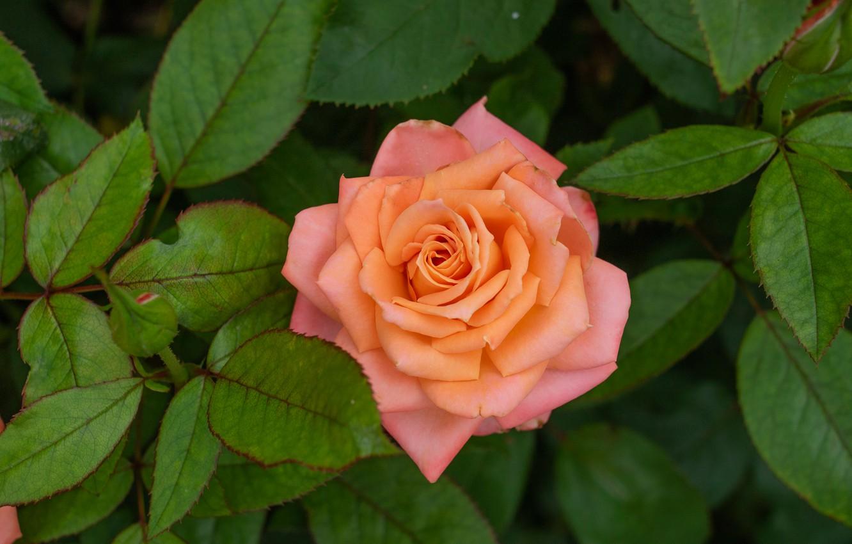 Фото обои листья, макро, роза, бутон