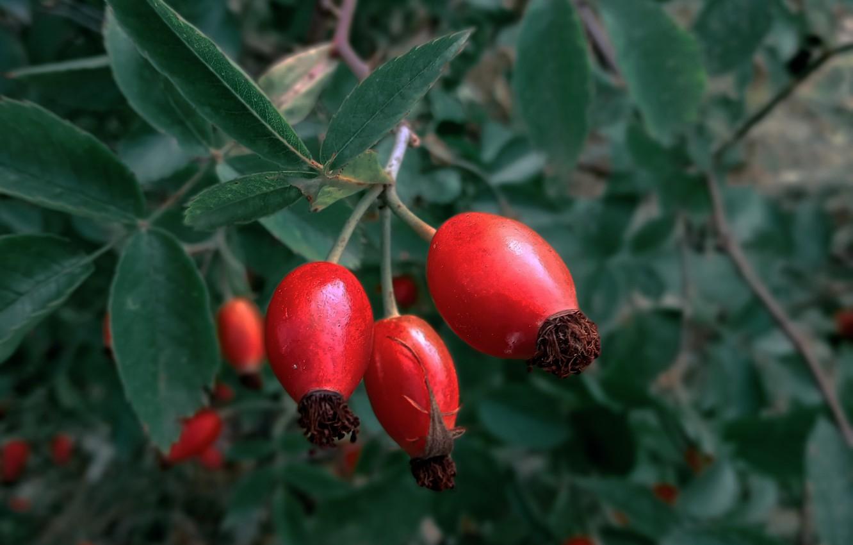 Фото обои макро, лист, куст, berry, ягода, шиповник, leaves, macro, shrub, dogrose