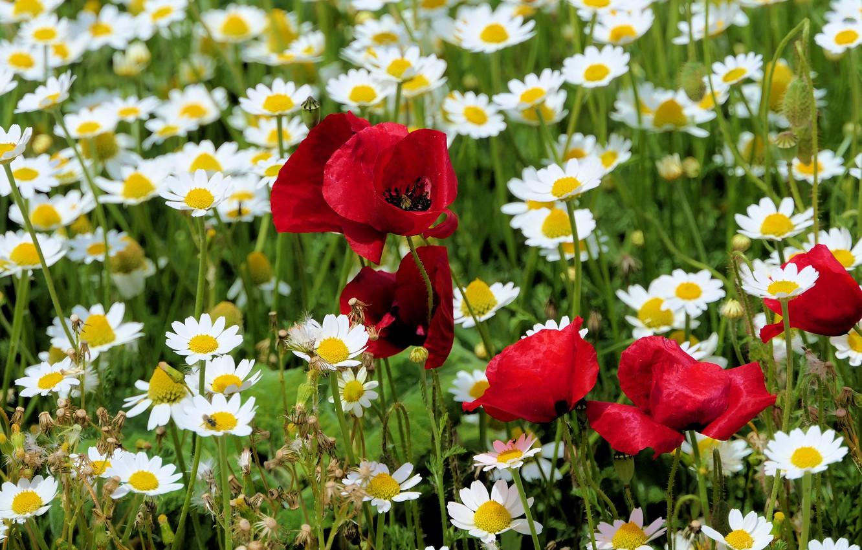 Фото обои поле, лето, цветы, поляна, мак, маки, ромашки, луг, красные, белые