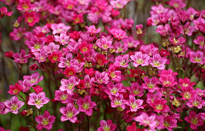 Фото обои розовые, цветочки, много, Камнеломка Арендса