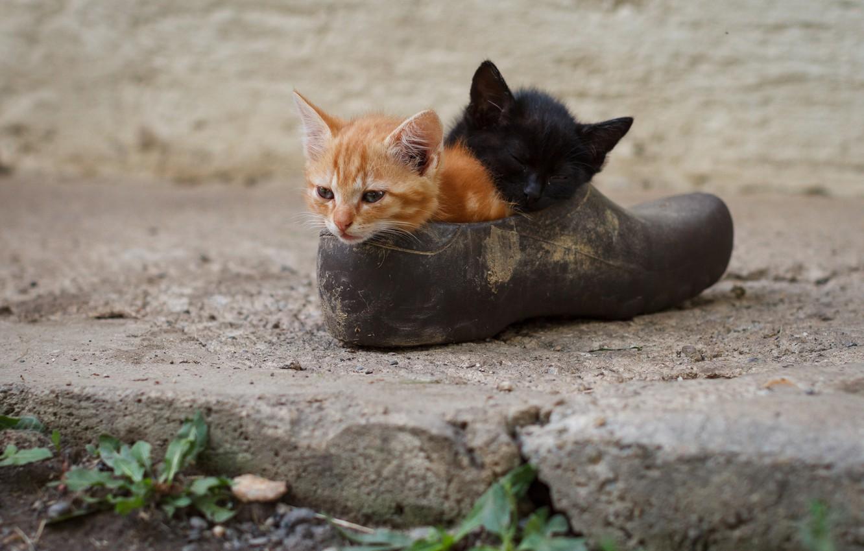 Фото обои котята, малыши, парочка, ботинок, два котёнка