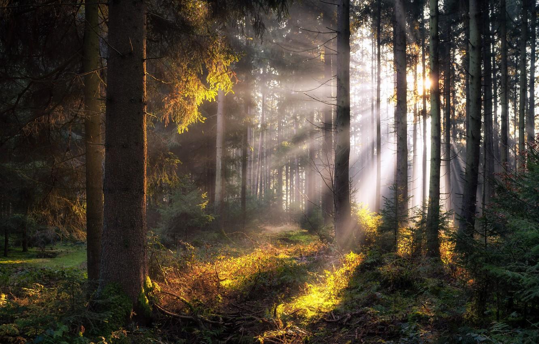 Фото обои лес, природа, утро