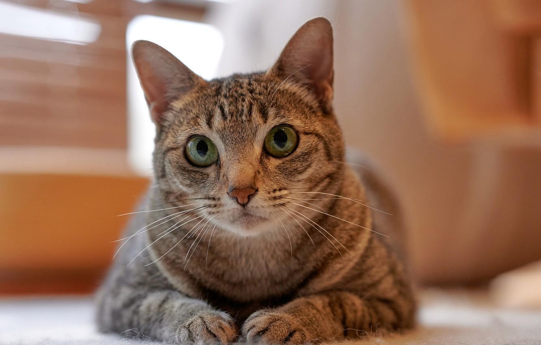 Фото обои кошка, взгляд, лапки, мордочка, котейка